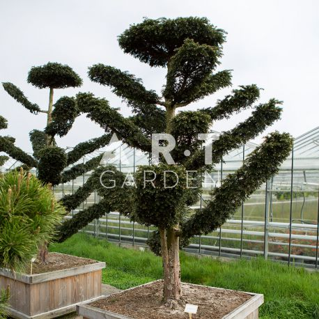Arbre Nuage japonais - Bonsai Geant Taxus Baccata Dovastoniana