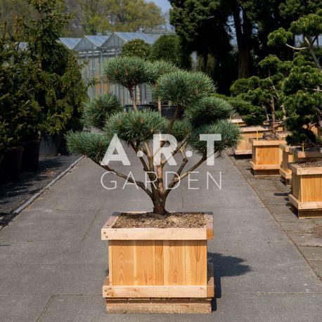 Arbre nuage Pinus Sylvestris Watereri Style Brepo 100/120