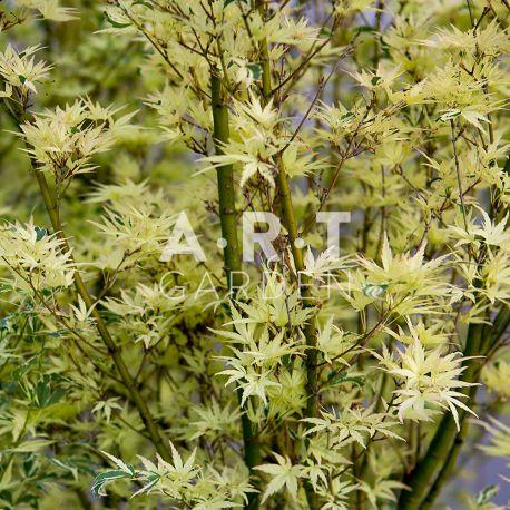 Erable du japon Acer palmatum 'Butterfly'