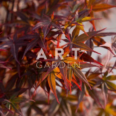 Erable du japon Acer palmatum 'Nuresagi'