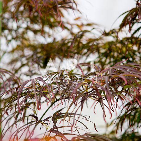 Erable du japon Acer palmatum 'Villa Taranto'