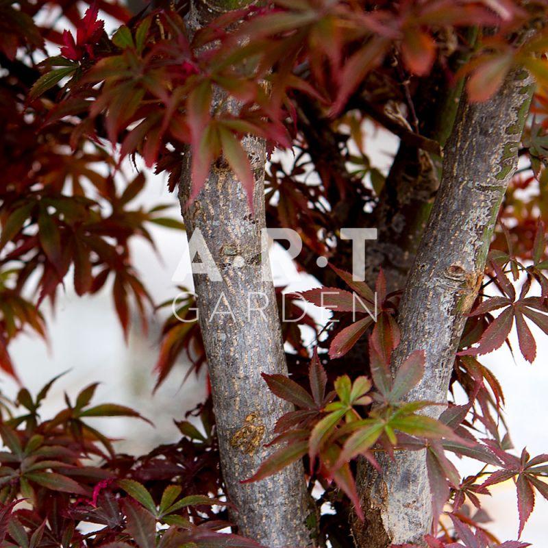 Erable Rouge Du Japon Pour Terrasse Resistant Au Froid