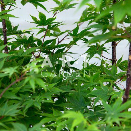 Erable du japon Acer palmatum 'Osakazuki'