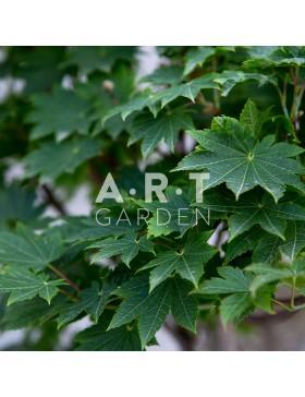 Erable du japon Acer japonicum 'Vitifolium'