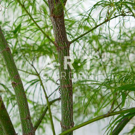 Erable du japon Acer palmatum 'Koto-no-ito'