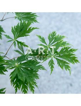 Erable du japon Acer japonicum 'Aconitifolium'