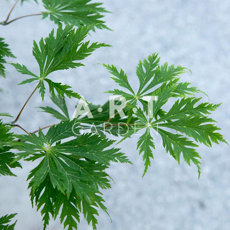 vente d une erable de collection japonais acer japonicum aconitifolium. Black Bedroom Furniture Sets. Home Design Ideas
