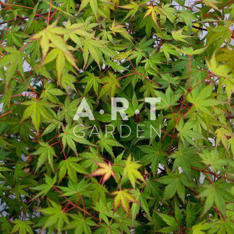 Erable du japon Acer palmatum 'Wendy'
