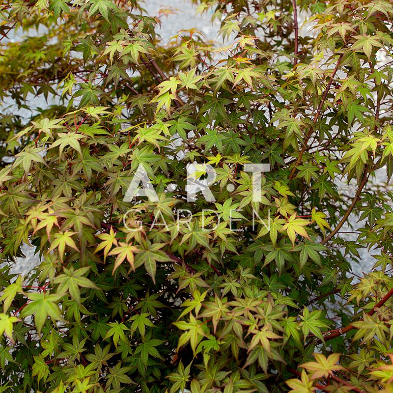 Arbuste du japon acer palmatum beni maiko resistant et rustique - Erable du japon acer palmatum ...