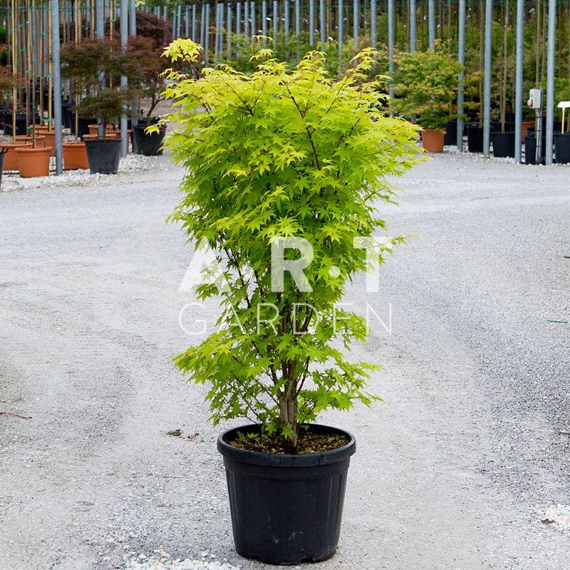 Acer palmatum wilson s pink dwarf arbuste original pour l 39 exterieur - Terre pour erable du japon ...