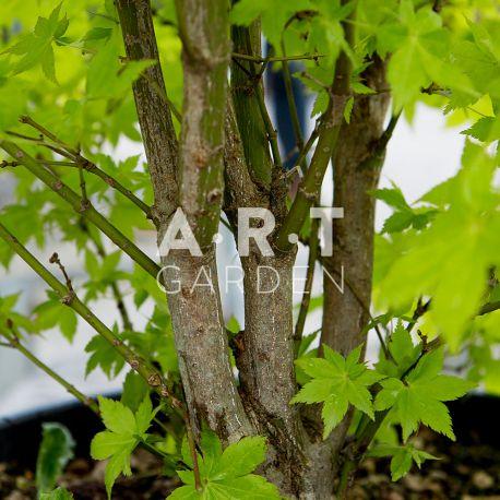 Erable du japon Acer palmatum 'Wilson's Pink Dwarf'