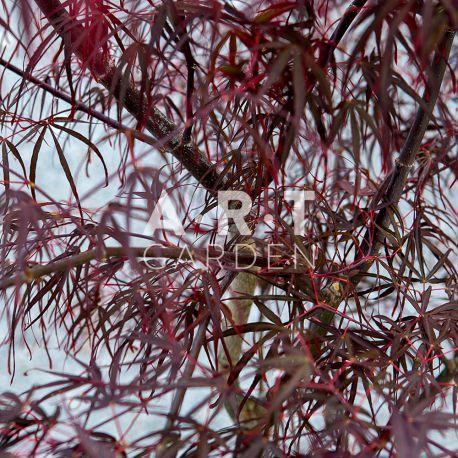 Erable du japon Acer palmatum 'Atrolineare'