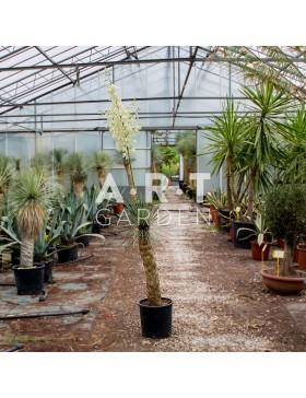 Yucca Rostrata Patio grande taille