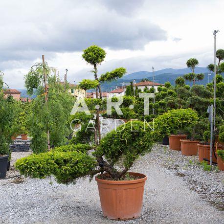 Juniperus PFIT AUREA Bonsai 180-200 cm Container 110 L