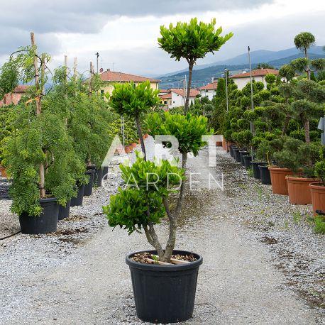 Nuages 5 boules Pon-Pon Prunus Otto Hauteur 150-160 Container 90L