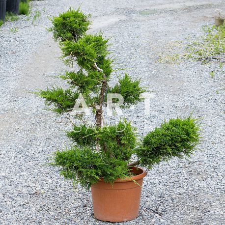 Juniperus Pfitzeriana Bonsai hauteur 90 cm container 115L