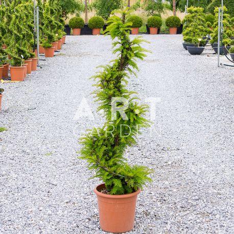 Taxus baccata Hauteur 120 cm / container 15L En spirale