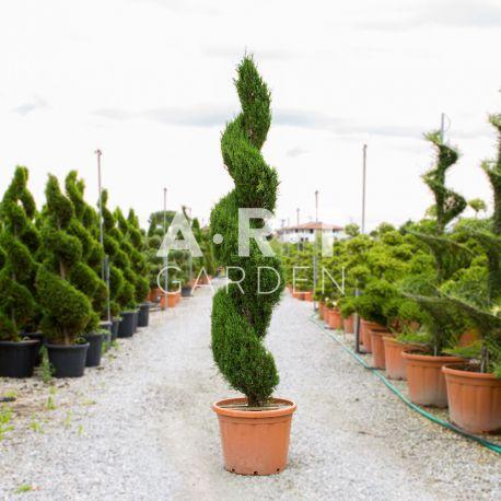 Cupressus Sem pyramidalis spirale hauteur 240/250 cm container 90 L