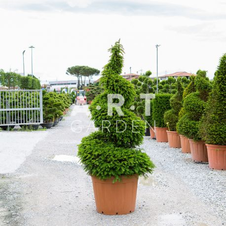 Taxus baccata spirale Xl Taille 160/180 container 110 L