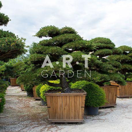 Pentaphylla Bonsai Japonais 250/300 Caisse bois déco