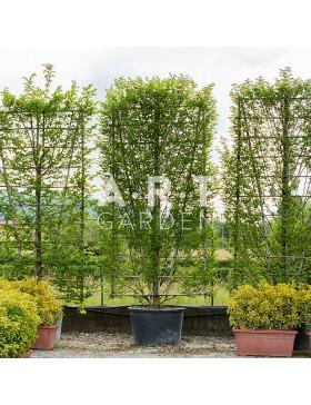 Carpinus Betulus Palisé 300 CM haut X 150 cms Large