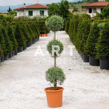 Cupressus arizonica fastigiata 3 boules Hauteur 80/100 Container 18L