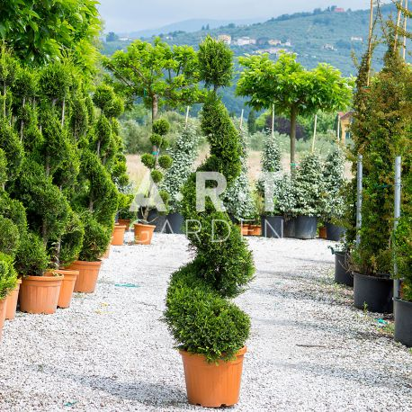 Cupressus leylandii Spirale + boule Hauteur 140/160 C 25 L