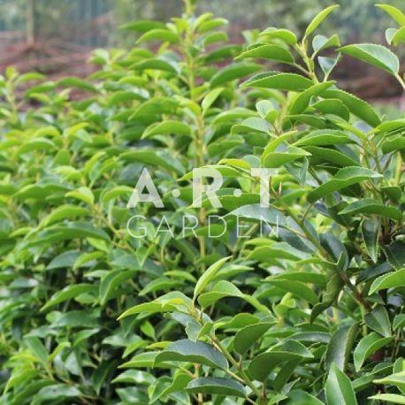prunus lusitanica angustifolia - Art Garden