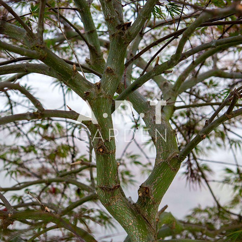 Arbre du Japon Acer Palmatum Dissectum Tamukeyama