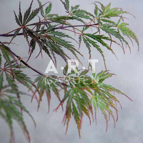 Érable du Japon Acer palmatum 'Dissectum Tamukeyama'
