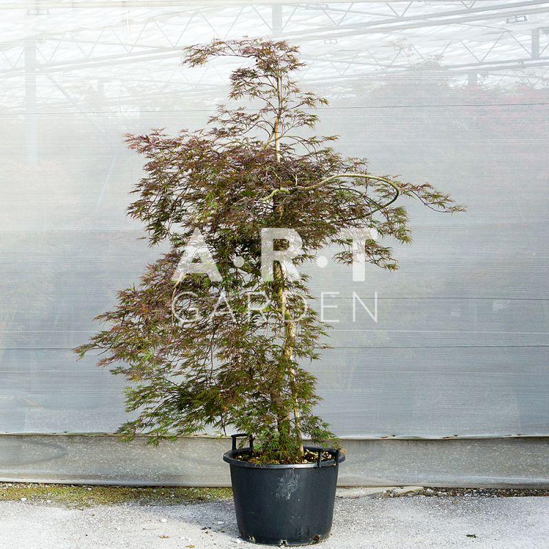 Acer palmatum disectum inaba shidare ideal pour les petits espaces - Erable du japon acer palmatum ...