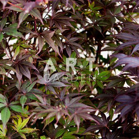 Erable du Japon Acer Palmatum 'Fireglow'