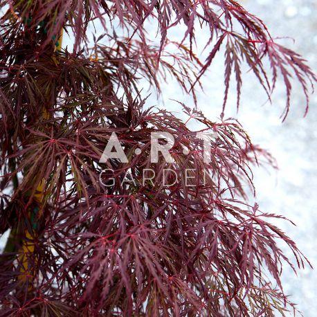 Érable du Japon Acer Palmatum 'Crimson Queen'