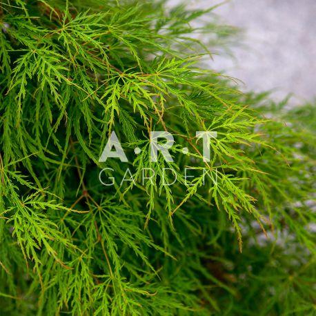 Erable du japon Acer palmatum 'Dissectum' ('Viride')