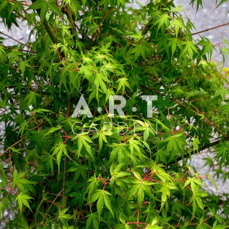 Erable du japon Acer palmatum 'Katsura'