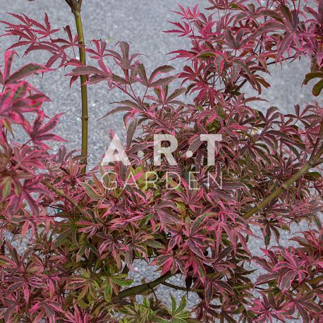 Erable du japon Acer palmatum 'Pink Passion'