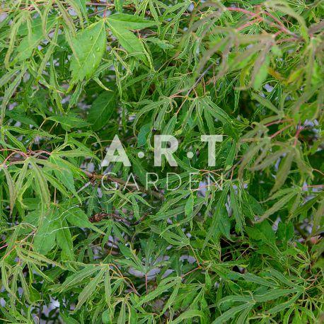 Érable du Japon Acer Palmatum 'Kaba'