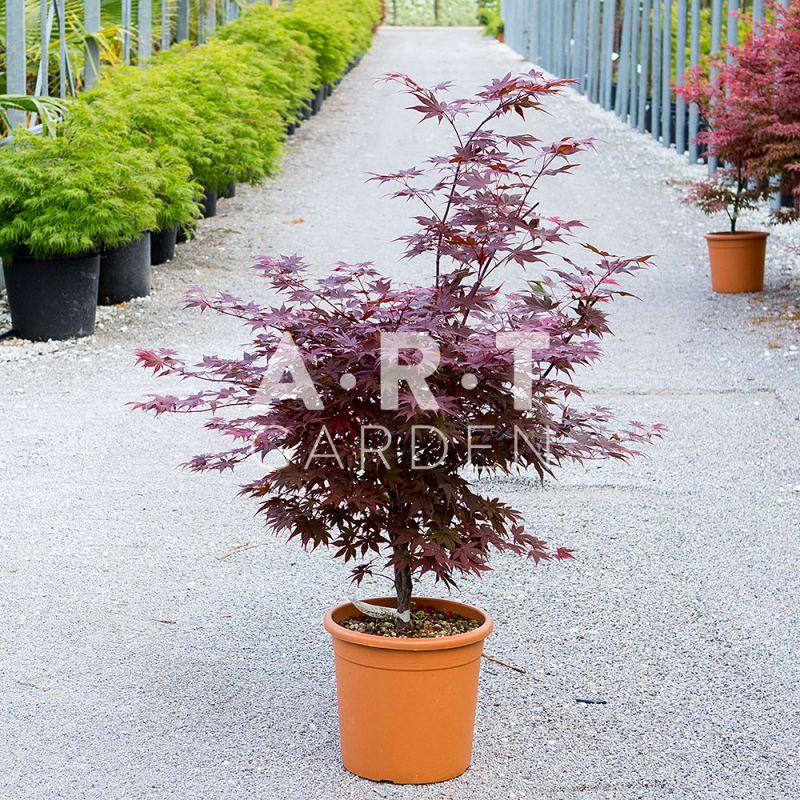 Plantation Arbuste Erable Acer Palmatum Shojo Nomura Jardin Terrasse