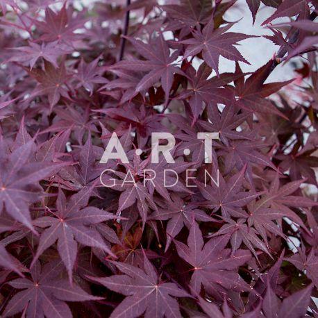 Erable du japon Acer palmatum 'Shojo-nomura'
