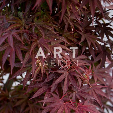 Erable du japon Acer palmatum 'Pixie'