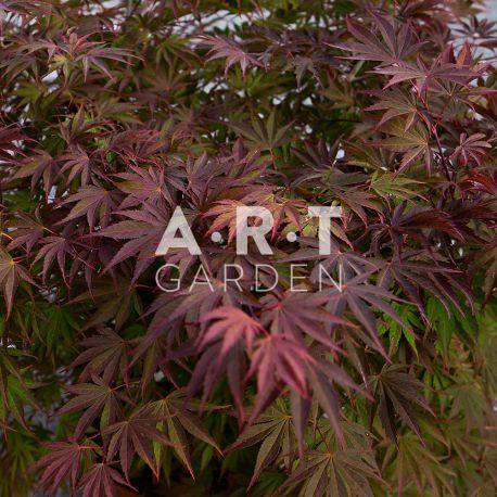 Erable du japon Acer palmatum 'Nathan'