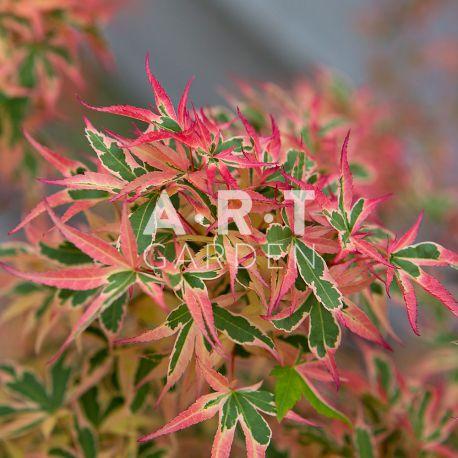 Erable du japon Acer palmatum 'Kagiri Nishiki'