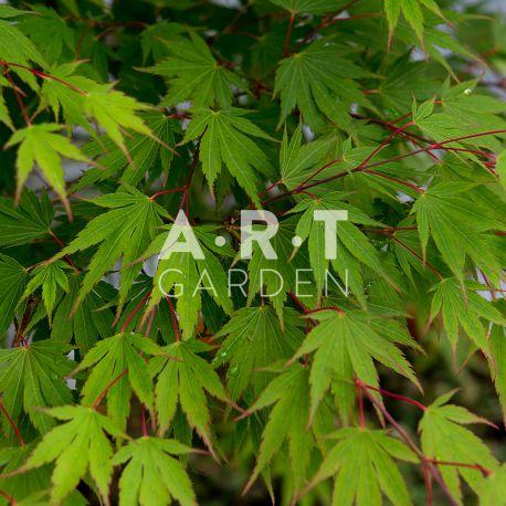 Érable du Japon Acer Palmatum 'Jazanami'