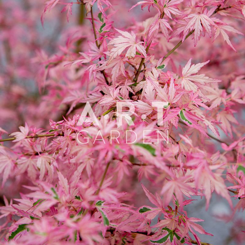 Arbre du japon acer palmatum taylor pour terrasse et jardin - Arbre pour jardin japonais ...