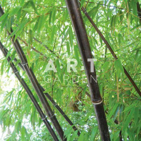Bambou Traçant Phyllostachys nigra