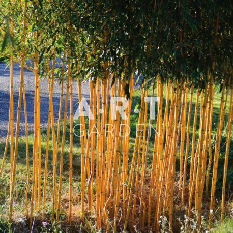 Bambou Traçant Phyllostachys aureosculata aureocaulis