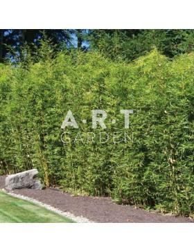 Bambou Traçant Pseudosasa japonica