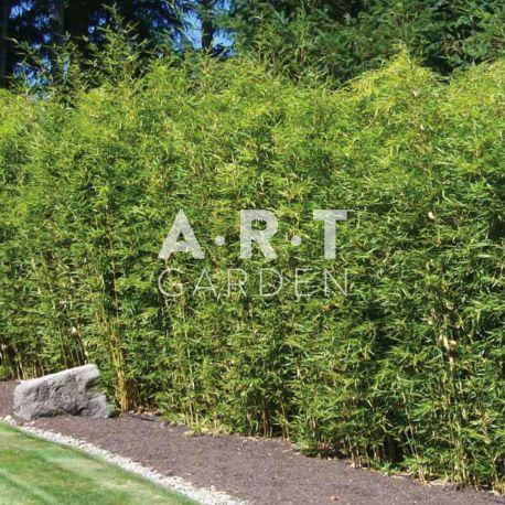 haie de jardin en bambou tra ant pseudosasa japonica feuillage dense. Black Bedroom Furniture Sets. Home Design Ideas