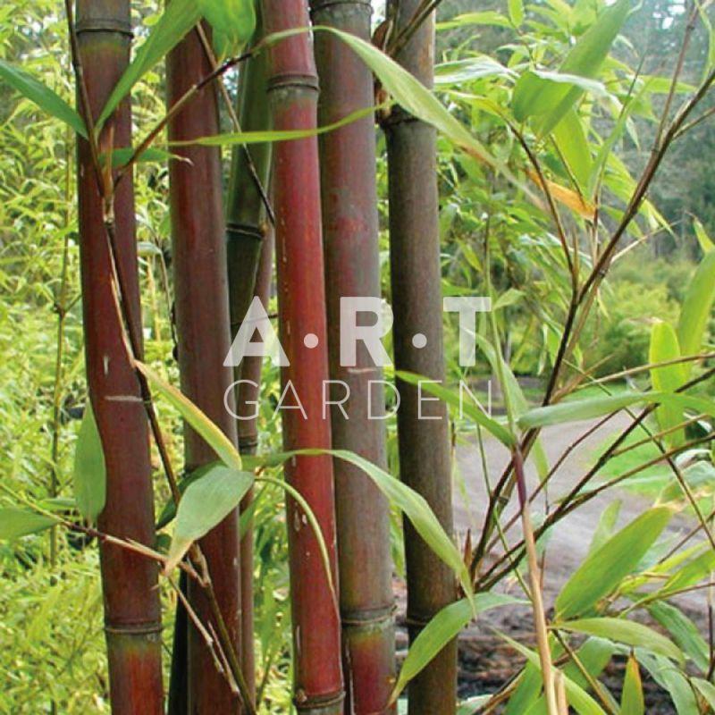 bambou tra ant semiarundinaria fastuosa rustique et r sistant au vent. Black Bedroom Furniture Sets. Home Design Ideas