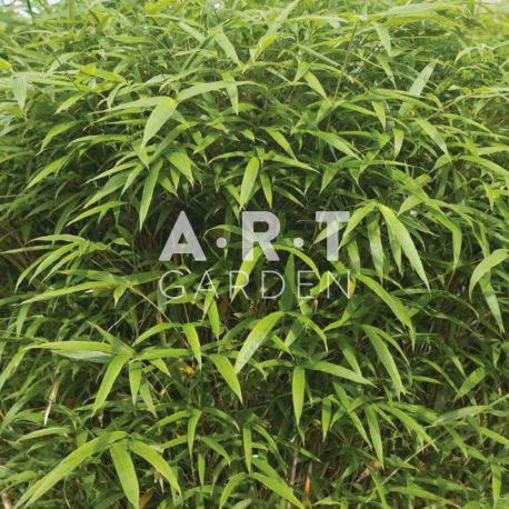 Bambou Traçant Semiarundinaria yashadake Kimmei